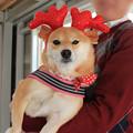 柴犬クリスマス会@Dog Space