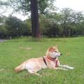 Photos: 柴on芝。ちと蒸し蒸し。