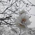 写真: 2013桜
