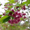 光善寺の桜