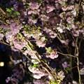 写真: Sakura Matsuri @ Flower Dome