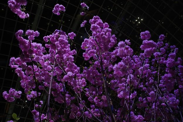 Sakura Matsuri @ Gardens by the Bay