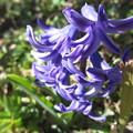 春の花・ヒヤシンス
