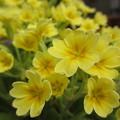 黄色い春の花
