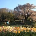 写真: 福島の桜