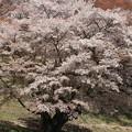 写真: 5月の桜