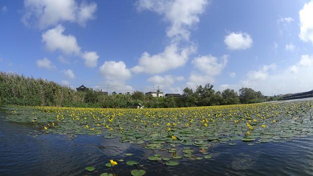 Photos: アサザ咲く湖