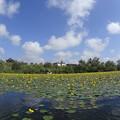 アサザ咲く湖