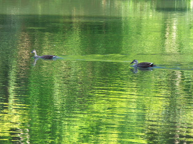 緑の池で泳ぐカモ