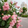 Photos: 街角のバラ