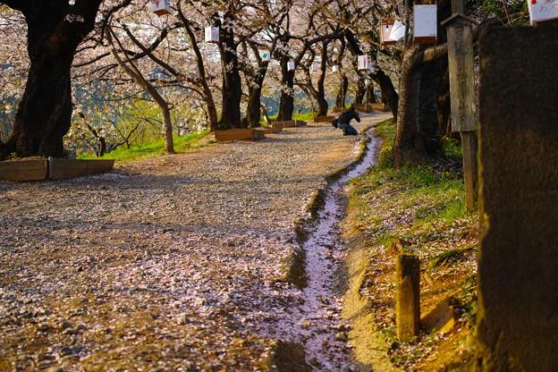 夕月神社の桜