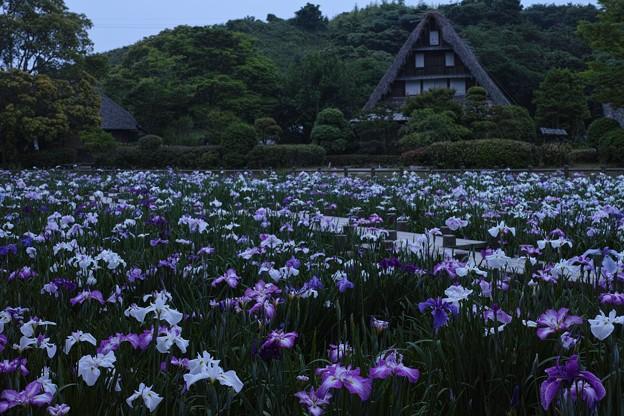 宮地嶽神社の菖蒲園