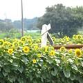 線路沿いの向日葵