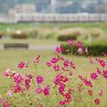 Photos: 多摩川のコスモス