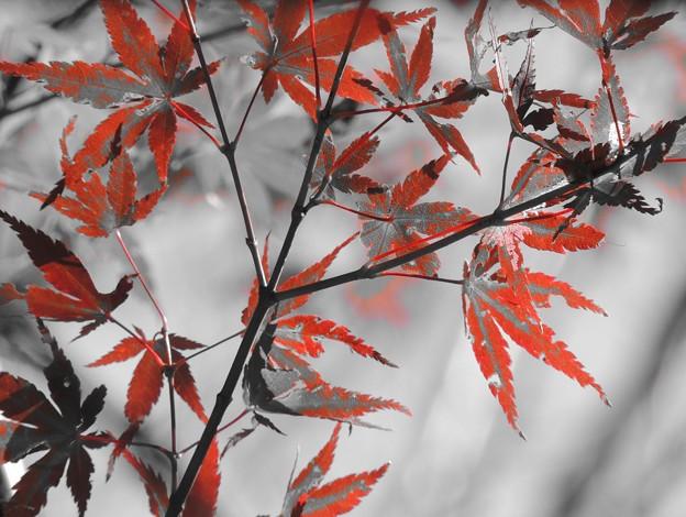 紅葉の押し花
