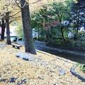 Photos: 銀杏黄葉(いちょうもみじ)