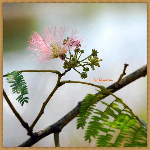 初夏(ねむの花)
