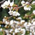 春爛漫桜咲く
