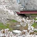春の小川(4)2014