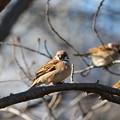 Photos: 厳冬の雀