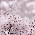 2014桜その3