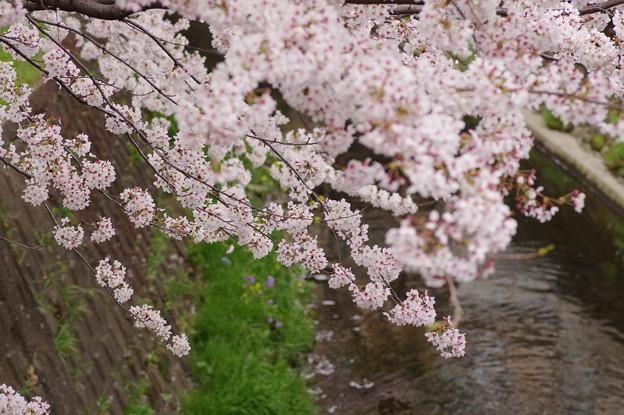 2014桜その4