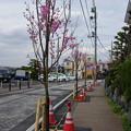 2014港南桜道(再整備部分)
