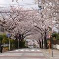 2014港南桜道(桜道コミュニティハウス近辺)
