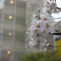 とある街の雨桜