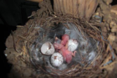 二羽が孵化