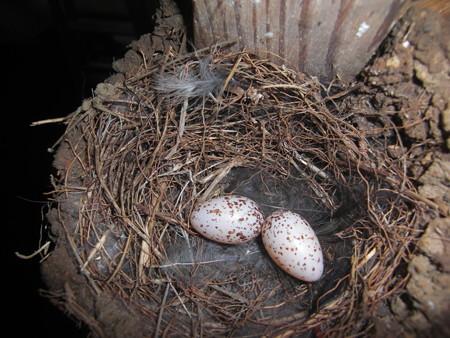二個目産卵