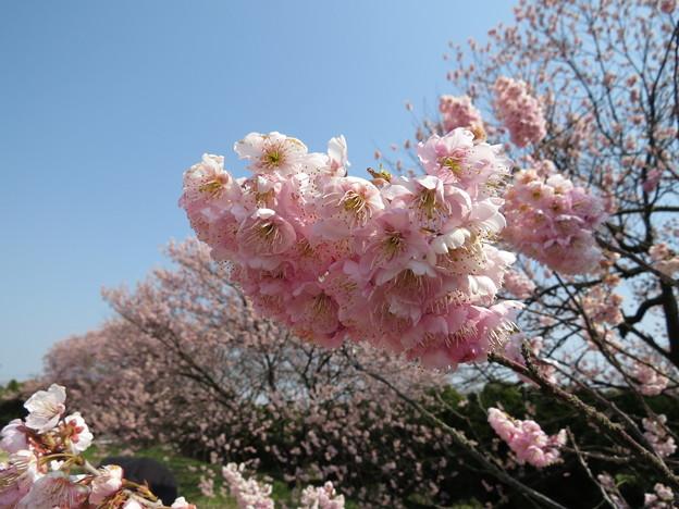 宮田鉄工の椿寒桜3