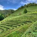 大韓茶園 「夏の香り」