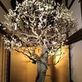 写真: IMG_0951大阪天満宮・大盆梅展・青軸野梅