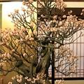 写真: IMG_0957大阪天満宮・大盆梅展・鶯宿