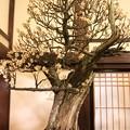 Photos: IMG_1003大阪天満宮・大盆梅展・白加賀