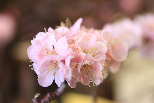 IMG_1080大阪天満宮・大盆梅展・一の谷