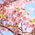 IMG_2859東寺(教王護国寺)・河津桜