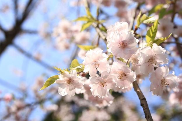 IMG_4604如意寺・枝垂桜