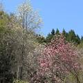 IMG_4767高照寺・白木蓮と桃色木蓮