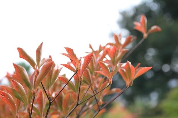 IMG_3515天龍寺・灯台躑躅の紅葉