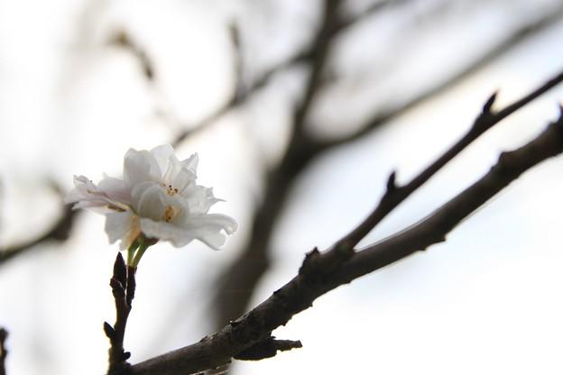 IMG_4161円通寺・寒桜