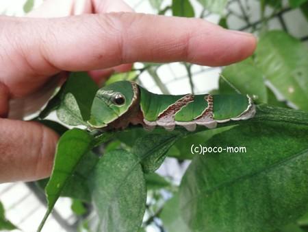 クロアゲハ 終齢幼虫2013年08月09日