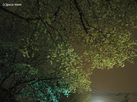 信号待ちで桜を撮る2014年04月05日_P4050048
