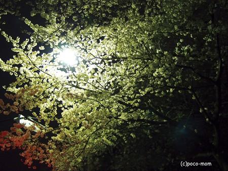 信号待ちで桜を撮る2014年04月05日_P4050059