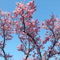 写真: 2月3日のカンヒザクラ1