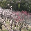 Photos: 満開の梅