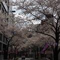 写真: 板橋駅前桜のトンネル