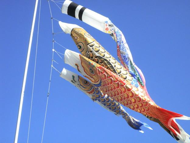 鯉のぼり (市川 国分)