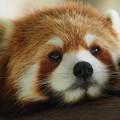 Photos: 潤目のレッサーパンダ♪